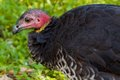 Bush Turkey Close-Up Stock Image - 25574841