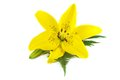 Yellow Lily With Fern Leaf Royalty Free Stock Photos - 25577478