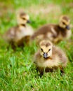 Young Canadian Goslings. Stock Images - 25580754