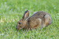 Snowshoe Hare Stock Photography - 25598902