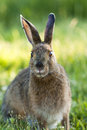 Snowshoe Hare Stock Photography - 25598912