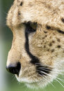 Cheetah Portrait Royalty Free Stock Images - 2562549