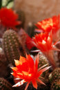 Cactus Flower 3 Royalty Free Stock Photo - 2564875