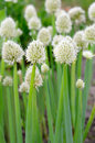 Flowers Of Onion Stock Image - 25600361