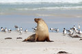 Sea Lion Royalty Free Stock Photo - 25614135
