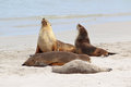 Sea Lions Royalty Free Stock Images - 25614279