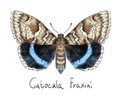 Butterfly Catocala Fraxini. Stock Images - 25619204