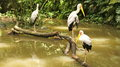 African Wood Storks Stock Images - 25645934