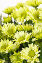 Chrysanthemum Flowers Stock Photo - 25658630
