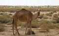 Camel In The Desert Royalty Free Stock Photos - 25659748