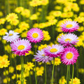 Aster Pink On Yellow Royalty Free Stock Images - 25666729