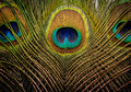 Peacock Feathers Background Stock Photos - 25667283