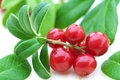 Fresh Cowberry Royalty Free Stock Images - 25671199