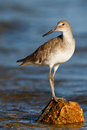 Willet Rock Royalty Free Stock Images - 25691019