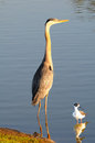 Heron And Stilt In Pond Royalty Free Stock Photos - 25693618
