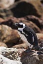 Jackass Penguin On The Rocks Royalty Free Stock Images - 2571989