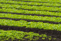 Rows Of Baby Lettuce Leaf Salad Plants Royalty Free Stock Photography - 25700847