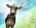 Portrait Of Cow Stock Photography - 25702652