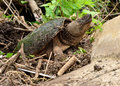 Snapping Turtle Royalty Free Stock Photos - 25710238