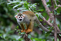 Squirrel Monkey Royalty Free Stock Photo - 25714125