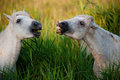 White Horses Eating Grass And Laughing Stock Photos - 25734223