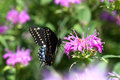 Eastern Black Swallowtail Butterfly Royalty Free Stock Photos - 25741088