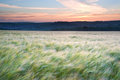 Field Of Grain Blowing In Wind Summer Sunset Stock Photography - 25743242