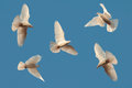 Five White Pigeons Fly In The Sky Stock Image - 25744441