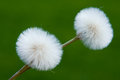 Dandelions Royalty Free Stock Photography - 25753637