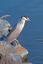 Black-crowned Night Heron Royalty Free Stock Photography - 25755687