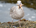 Seagull Eating A Starfish Royalty Free Stock Photography - 25757097