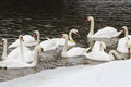 Swans On The River In Winter Day Stock Photos - 25759693