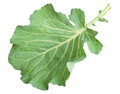 Fresh Green Cabbage Leaf Royalty Free Stock Images - 25770429