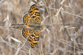 Butterflies Copulating. Royalty Free Stock Photo - 25774235