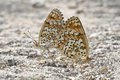 Butterflies Copulating. Royalty Free Stock Images - 25774739