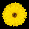 One Blossoming Yellow Pot Marigold Flower Isolated Stock Photo - 25775590