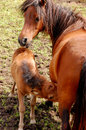 Mare And Colt Stock Images - 25779414