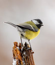 Winter Great Tit  Royalty Free Stock Images - 25781019
