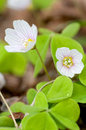 Common Wood-sorrel Royalty Free Stock Photography - 25781627