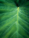 Green Elephant Ear Leaf Background Stock Image - 25793381