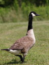 Canada Goose Royalty Free Stock Image - 2584246