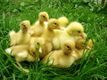 Ducklings Royalty Free Stock Photos - 2588408
