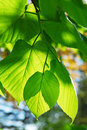 Green Leaves Royalty Free Stock Images - 2588969