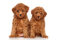Toy Poodle Puppies Portrait Royalty Free Stock Images - 25801579