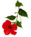Red Hibiscus Flower Royalty Free Stock Photography - 25804657