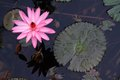 Water Lily Flower Royalty Free Stock Photo - 25808585