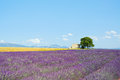 Lavender Flowers Field, House, Tree. Provence Royalty Free Stock Photography - 25813387