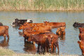 Cows In The River Royalty Free Stock Photos - 25816508
