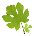 Fig Leaves Royalty Free Stock Images - 25823959