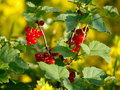 Red Currant Berries Royalty Free Stock Images - 25824209